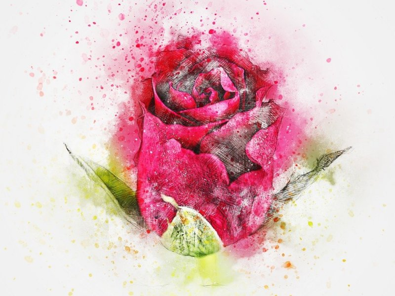 nacrtana crvena ruža